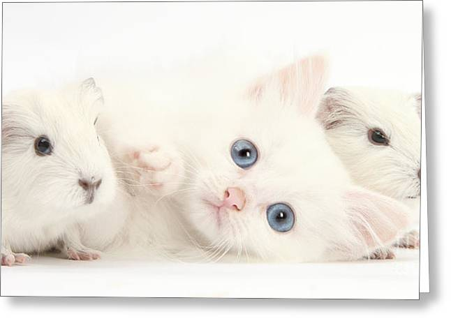 House Pet Greeting Cards - Baby White Guinea Pigs And White Maine Greeting Card by Mark Taylor