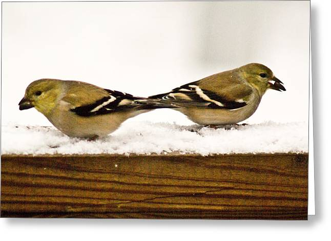 Snow Seeds Greeting Cards - Back to Back American Gold Finches Greeting Card by Douglas Barnett