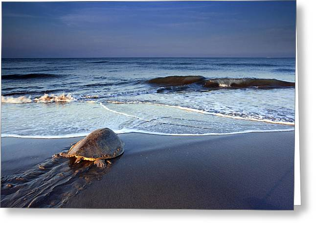Tortuga Greeting Cards - Back To The Sea Greeting Card by Edward Kreis