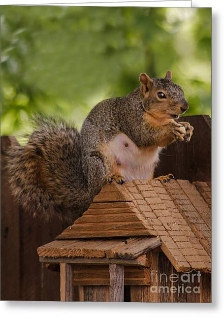 Eastern Fox Squirrel Greeting Cards - Back Yard Pet Greeting Card by Robert Bales