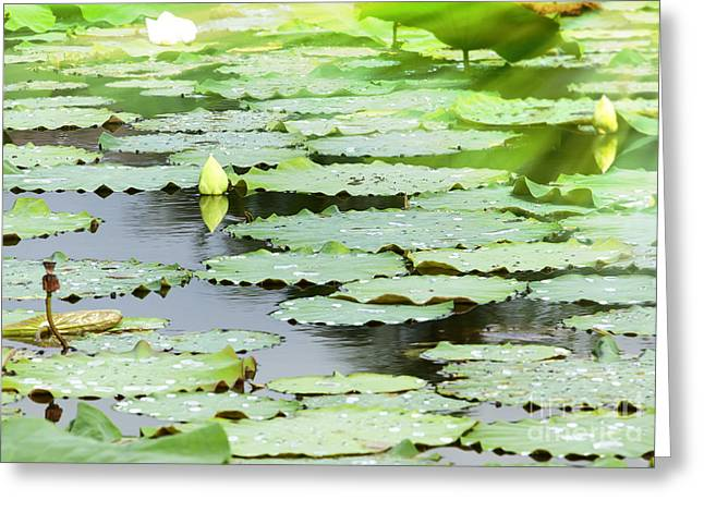 Lilly Pads Greeting Cards - Background of pool with waterlilly Greeting Card by Anek Suwannaphoom