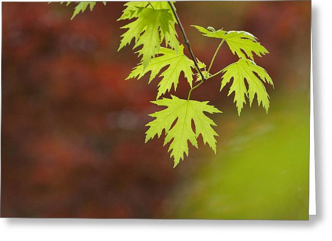 Recently Sold -  - Close Focus Nature Scene Greeting Cards - Backlit Maple Leaves On A Branch Greeting Card by Greg Dale