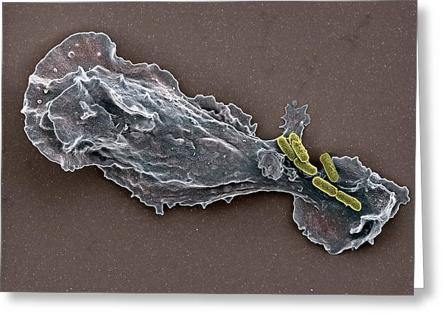 False-colour Greeting Cards - Bacteria And Neutrophil Cell, Sem Greeting Card by
