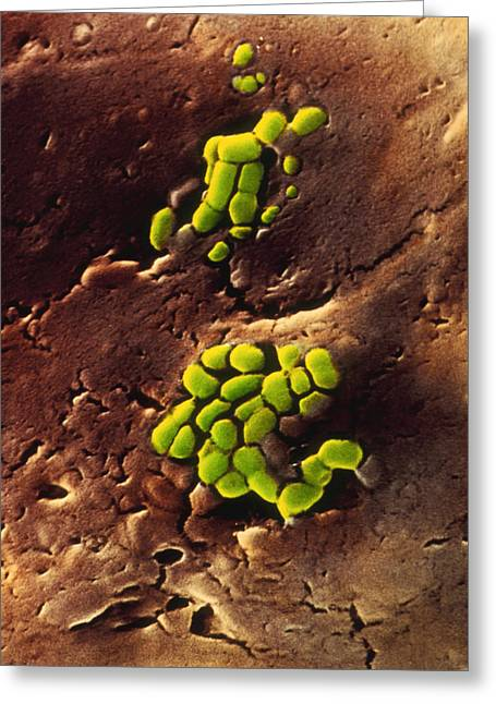 Bacteria On Cooked Roast Beef Greeting Card by Dr Jeremy Burgess