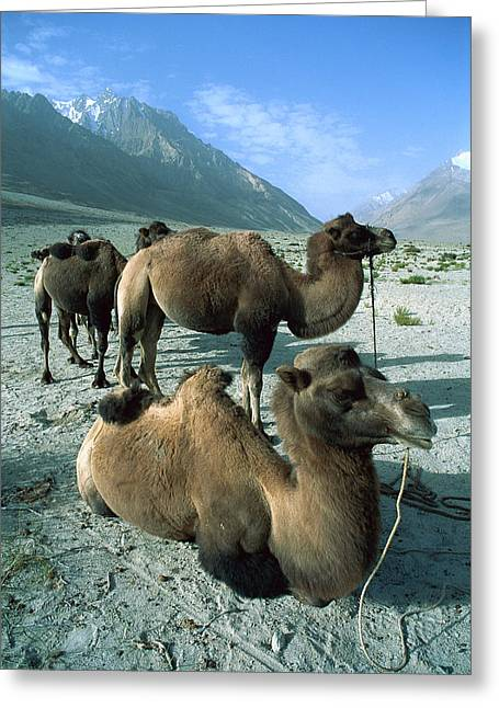 Critically Endangered Animal Greeting Cards - Bactrian Camel Camelus Bactrianus Group Greeting Card by Colin Monteath