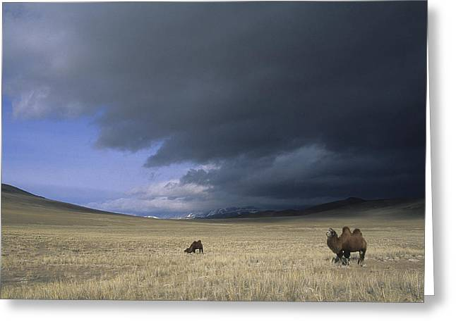 Bactrian Camels In Bayan-ulgii,mongolia Greeting Card by David Edwards