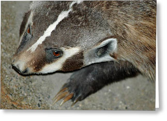 Nature Center Pond Greeting Cards - Badger on the loose Greeting Card by LeeAnn McLaneGoetz McLaneGoetzStudioLLCcom