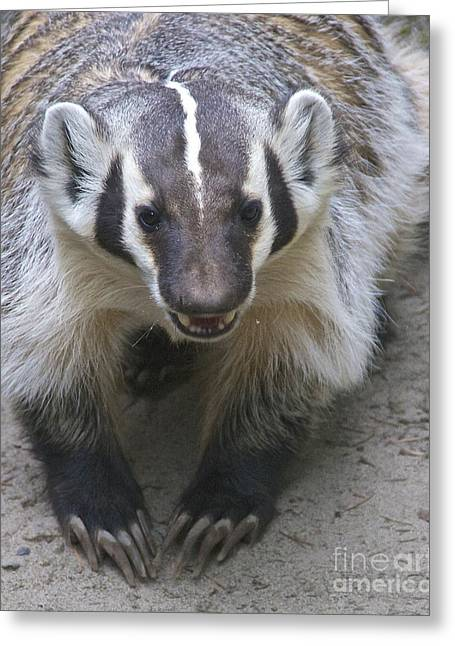 Sean Griffin Greeting Cards - Badgered Badger Greeting Card by Sean Griffin