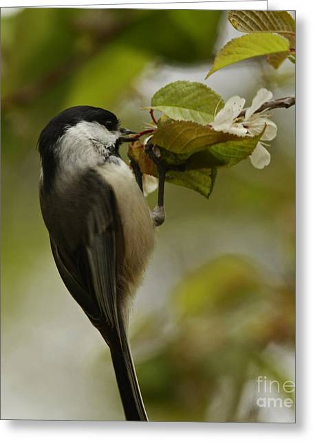 Shelley Myke Greeting Cards - Balancing Act- Black Capped Chickadee on Flower Blossom Greeting Card by Inspired Nature Photography By Shelley Myke