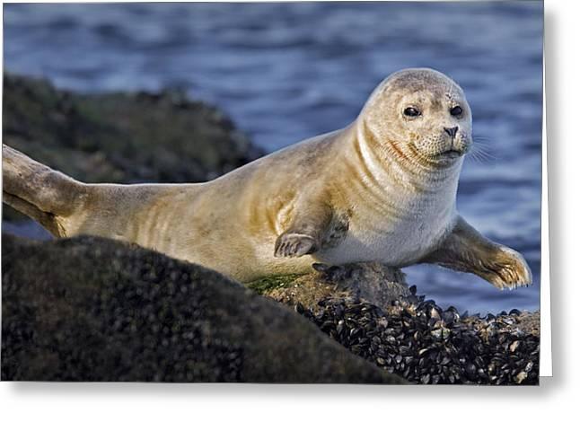 Harbor Seals Greeting Cards - Balancing Act Greeting Card by Susan Candelario