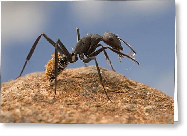 Bals Greeting Cards - Balbyter Ant Cleaning Its Antennae Greeting Card by Piotr Naskrecki