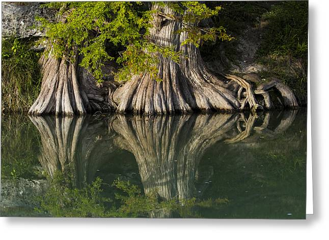 Stream Greeting Cards - Bald Cypress Rooting In Greeting Card by Ellie Teramoto