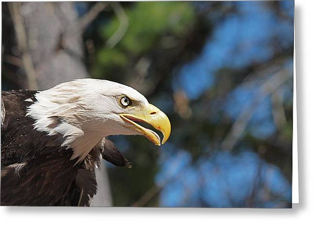 Concord Center Greeting Cards - Bald Eagle at McLane Center Greeting Card by Peter Gray