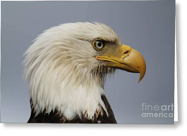Gnarly Greeting Cards - Bald Eagle Greeting Card by Dean Gribble