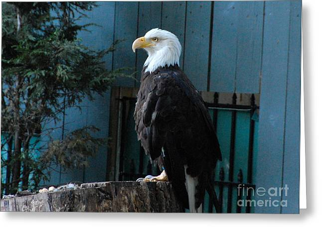 Diana Riukas Greeting Cards - Bald Eagle Greeting Card by Diana Riukas
