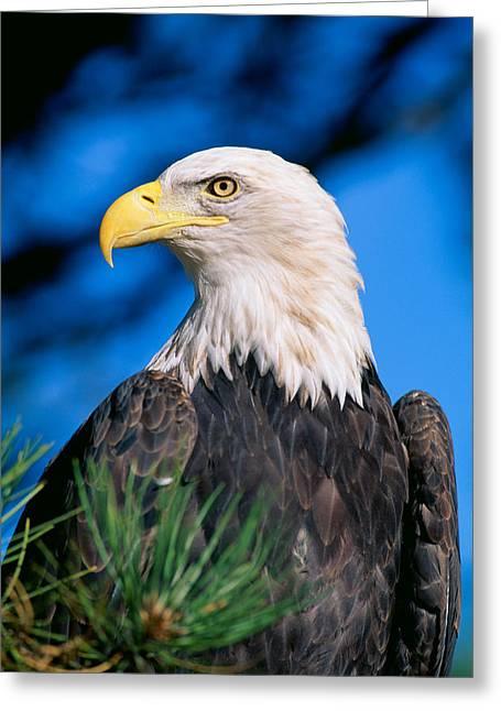 Haliaeetus Leucocephalus Greeting Cards - Bald Eagle Greeting Card by John Hyde - Printscapes