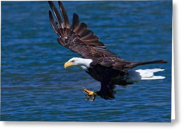 Preditor Photographs Greeting Cards - Bald Eagle on the Hunt Greeting Card by Beth Sargent