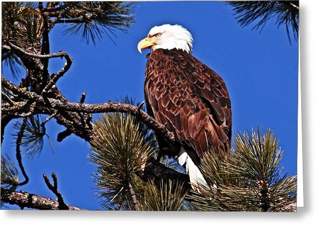 Eagles Greeting Cards - Bald Eagle Sits Greeting Card by Don Mann