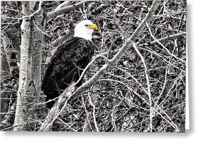 Pond In Park Greeting Cards - Bald Eagle watches Greeting Card by Don Mann