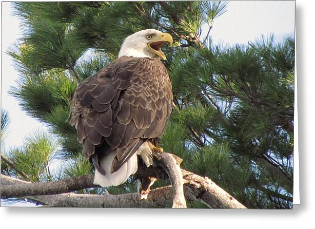Bald Eagle with Fish for her Baby Eaglets Greeting Card by Mitch Spillane