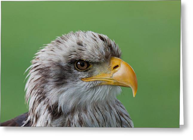 Skyhunter Greeting Cards - Bald Eagle Greeting Card by Wolfgang Woerndl
