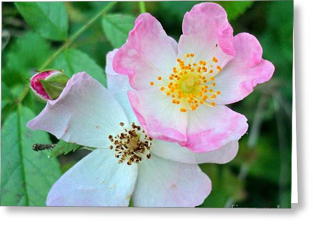 Ballerina Rose Bud And Blooms Greeting Card by Padre Art