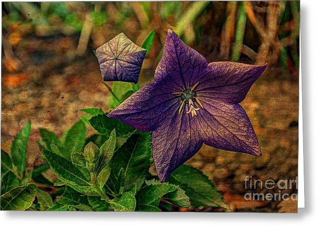 Balloon Flower Greeting Cards - Balloon Flower - Antiqued Greeting Card by Michael Garyet