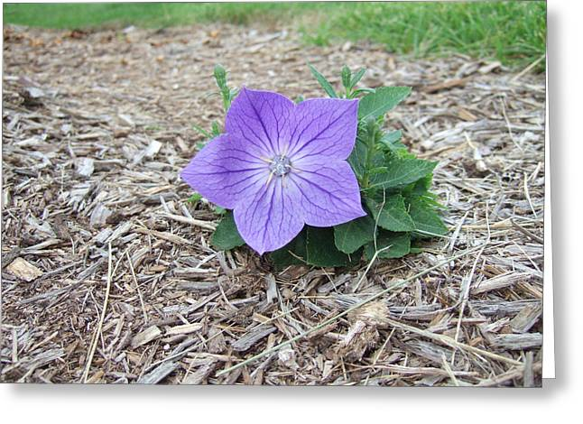 Balloon Flower Greeting Cards - Balloon Flower Greeting Card by Melania Covey