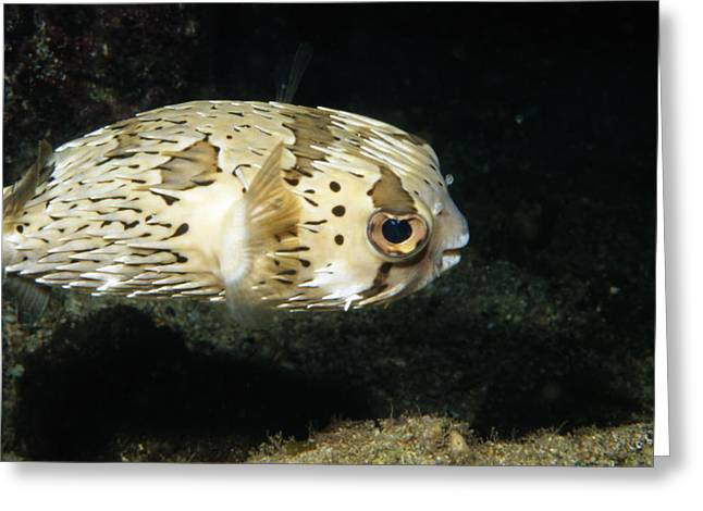 Puffer Greeting Cards - Balloonfish Profile Puffer Fish, Diodon Greeting Card by James Forte