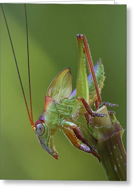 Katydid Greeting Cards - Balloonwinged Katydid Male Nymph Greeting Card by Piotr Naskrecki