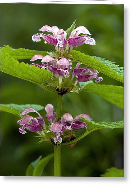 Balm Greeting Cards - Balm-leaved Archangel (lamium Orvala) Greeting Card by Bob Gibbons