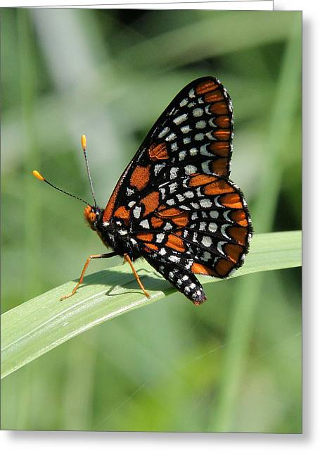 Checkerspot Greeting Cards - Baltimore Checkerspot butterfly with wings folded Greeting Card by Doris Potter