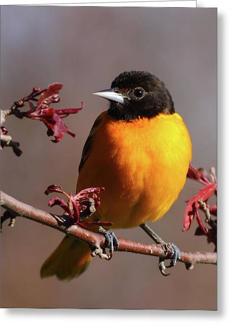 Baltimore Oriole Greeting Cards - Baltimore Oriole II Greeting Card by Bruce J Robinson