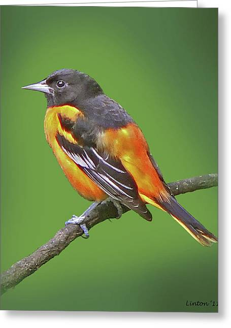 Baltimore Oriole Greeting Card by Larry Linton