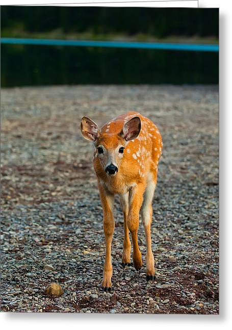 Animal Photographs Greeting Cards - Bambi Greeting Card by Sebastian Musial