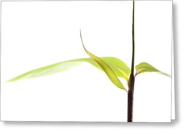 Simplicity Greeting Cards - Bamboo Meditation 1 Greeting Card by Carol Leigh