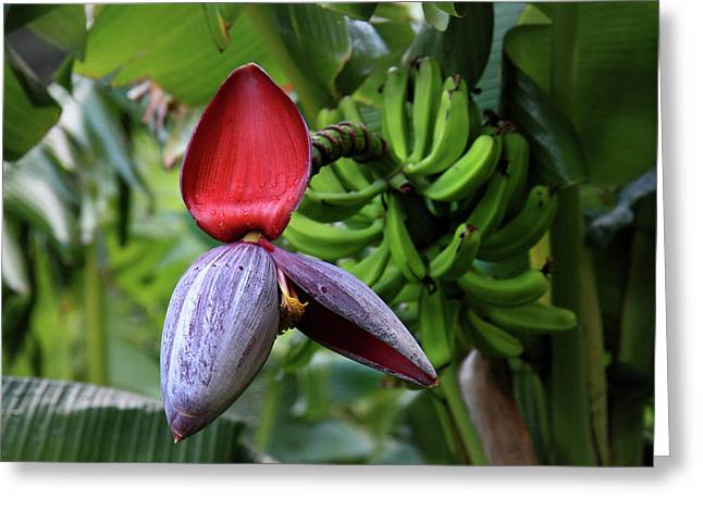 Banana Flower Greeting Cards - Banana flower Greeting Card by Pierre Leclerc Photography