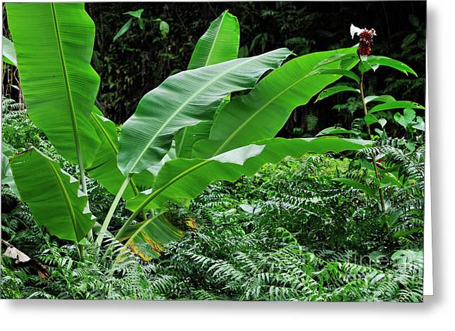 Sami Sarkis Greeting Cards - Banana tree leaves in tropical garden Greeting Card by Sami Sarkis