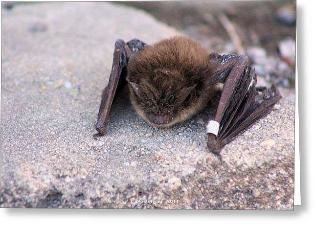 Pendleton County Greeting Cards - Banded Bat Greeting Card by Carolyn Postelwait