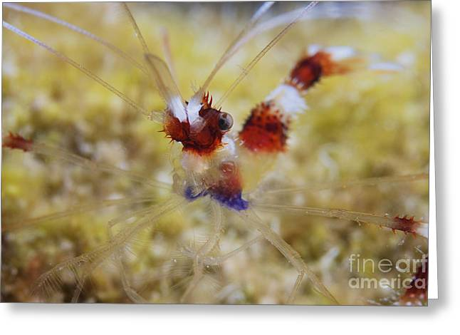 Decapoda Greeting Cards - Banded Cleaner Shrimp, Bonaire Greeting Card by Terry Moore