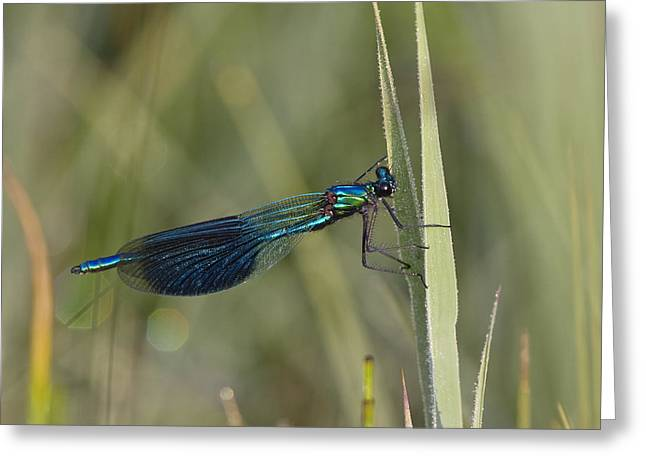 Demoiselles Greeting Cards - Banded Demoiselle Calopteryx Splendens Greeting Card by Konrad Wothe