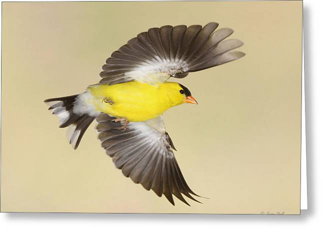 Canary In Flight Greeting Cards - Banking For Home Greeting Card by Gerry Sibell