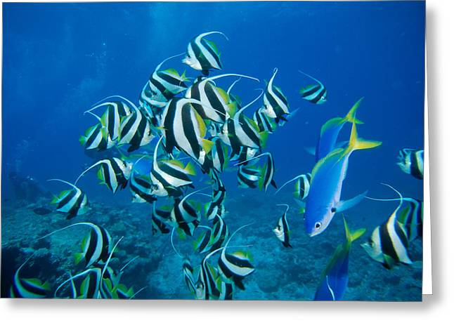 Yellowtail Greeting Cards - Bannerfish School Greeting Card by Dave Fleetham - Printscapes