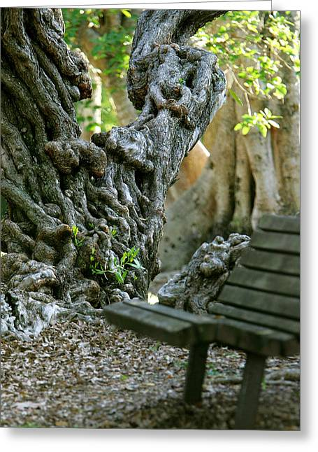 Tree Roots Greeting Cards - Banyan Tree and Park Bench Greeting Card by Dennis Clark