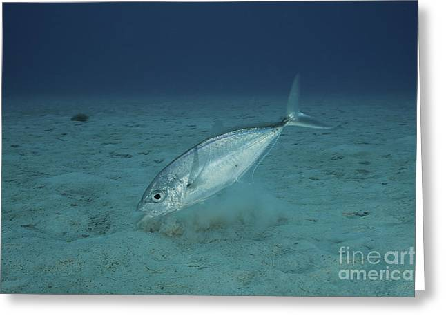Undersea Photography Greeting Cards - Bar Jack Feeding In The Shallow Waters Greeting Card by Terry Moore
