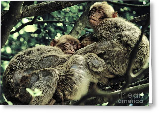 Social Herd Animals Greeting Cards - Barbary Apes Macaques Babies budddies gang Greeting Card by Anja Freak
