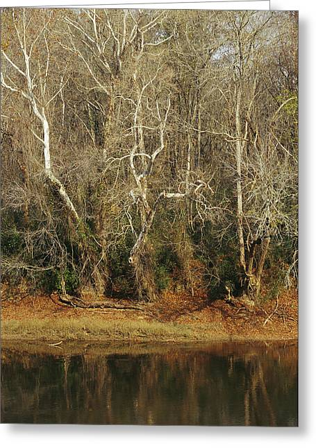 Tree. Sycamore Greeting Cards - Bare Sycamore Trees Along The Cape Fear Greeting Card by Raymond Gehman