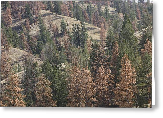 Kamloops Greeting Cards - Bark Beetle Killed Trees On A Hillside Greeting Card by Taylor S. Kennedy