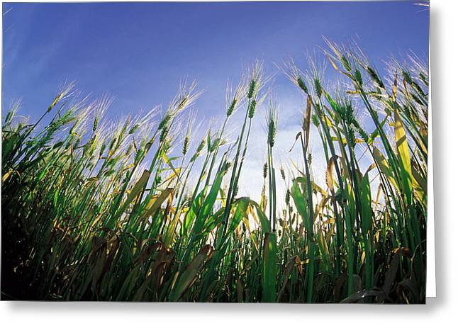 Jul08 Greeting Cards - Barley Field, Near Dugald, Manitoba Greeting Card by Dave Reede