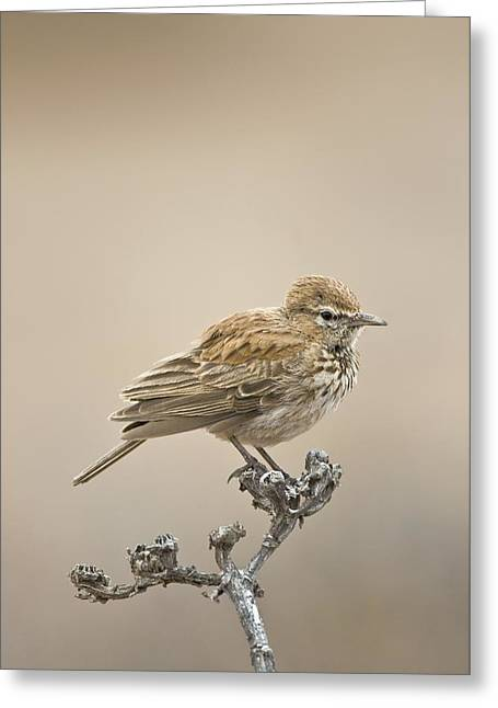 Northern Africa Greeting Cards - Barlows Lark Greeting Card by Peter Chadwick